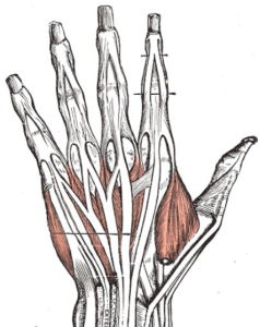Cut away picture of the back of a hand, Grey's Amatomy